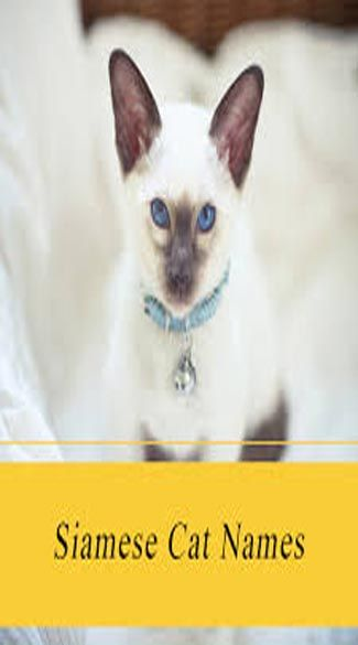 50 Most Popular Siamese Cat Names Girl Cat Names Grey Cat Names Cute Cat Names