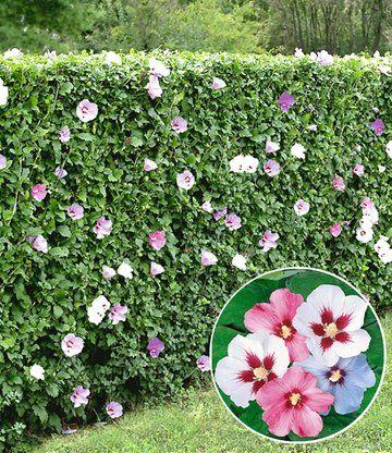 Hibiskus-Hecke u2026 Pinteresu2026 - heckenpflanzen
