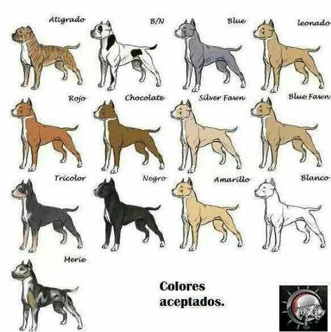MAXIMUS KENNEL'S  - American Pitbull terrier , Apbt