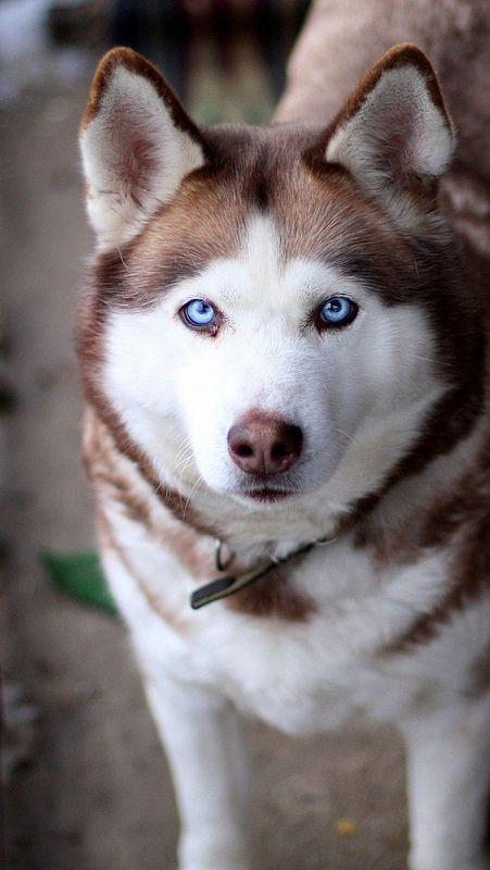 Face Husky Dog View 83084 640x1136 Husky Dogs Siberian Husky