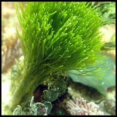 Green Saltwater Macro Algae Plant Shaving Brush Penicillus Sp Macroalgae Grape Tree Plants Freshwater Plants