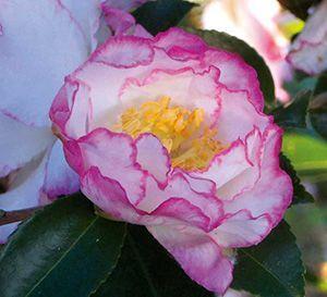 October Magic Inspiration Camellia Flowering Shrubs Evergreen