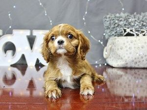 Dogs And Puppies For Sale In Ohio With Images Dapple Dachshund