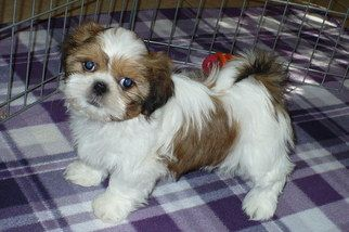 Shih Tzu Puppies For Adoption Near Me Canada Shih Tzu Rescue Adoptions Rescue Me Shih Tzu Puppies The Ultimate Guide For N In 2020 Puppy Adoption Shih Tzu Puppy Dogs