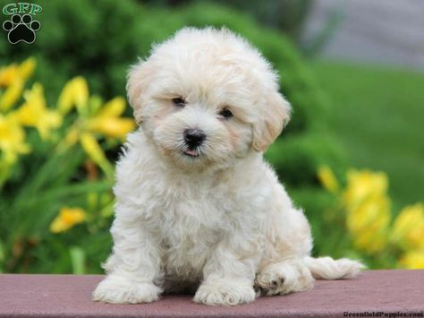 Coy Lhasa Poo Puppy For Sale From New Holland Pa With Images