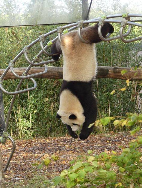 Post with 2510 votes and 94214 views. Tagged with funny, the more you know; Shared by OctopussSevenTwo. Kung Fu panda is real! Cute Little Animals, Cute Funny Animals, Cute Dogs, Funny Animal Photos, Animal Pictures, Funny Pictures, Funny Pics, Panda Bebe, Cute Panda