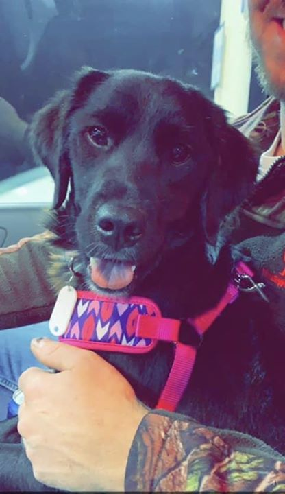Lost Dog Cambridge Golden Retriever Lab Mix Female Date Lost