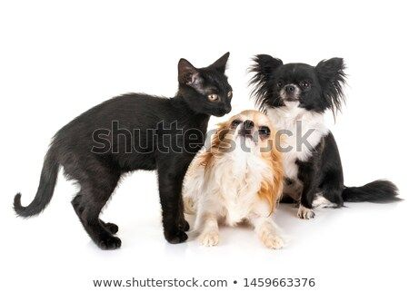 Stock Photo Black Kitten And Chihuahua In Front Of White Background Pet Dogs Black Kitten Kittens