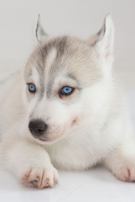 Cute Puppies Siberian Husky On White Background Siberianhusky
