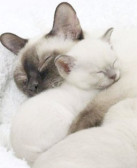 Mother With Her Kitten Siamesecat Cute Cats Cute Animals Pretty Cats