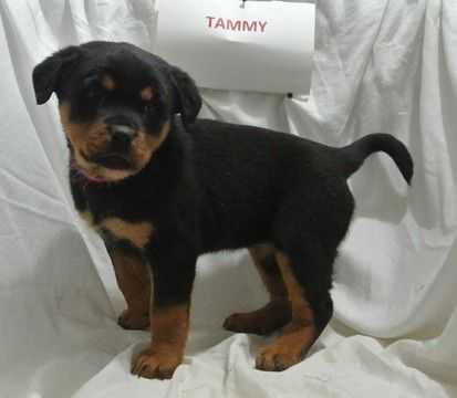 Rottweiler Puppy For Sale In New Haven In Adn 61702 On