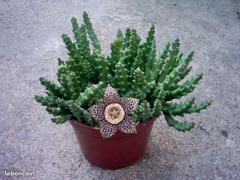 Cactus Fleur En Forme Détoile De Mer Plantes De Cactus