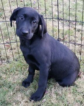 Labrador Retriever Puppy For Sale In Warren Ma Adn 57562 On