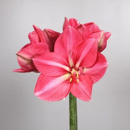 Hippeastrum Hercules Is A Tall Pink Amaryliss Variety Approx 80cm Mainly Thought Of As A Christmas Flower Bu Wholesale Flowers Floral Sundries Flower Guide