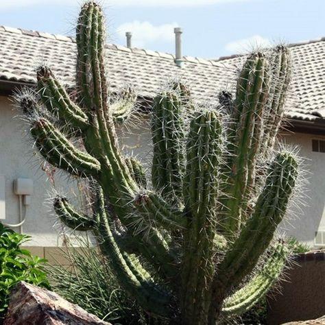 Argentine Toothpick Cactus Seeds