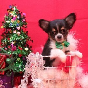 Find The Right Puppy For Your Family Puppyspot Chihuahua Chihuahua Chihuahua Training Puppy Training