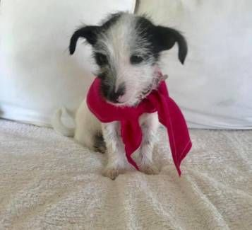 Chihuahua X Maltese X Foxy Puppy Dogs Puppies Gumtree Australia Caboolture Area Burpengary 1196834038 Puppies Dogs And Puppies Dogs