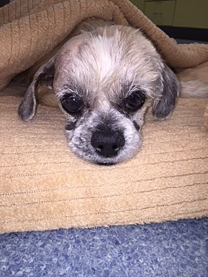 Waterford Ct Shih Tzu Meet Teddy A Dog For Adoption Kitten