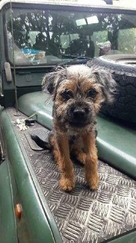 Pin By Tonya Hemphill On Border Terriers Border Terrier Old