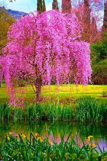 10 Pcs Bag Weeping Sakura Seeds Cherry Blossom Seeds Beautiful Sakura Tree Beautiful Tree Weeping Cherry Tree Beautiful Gardens