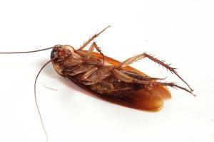 Como Acabar Con La Plaga De Cucarachas Chiquitas Pin En Como Exterminar Cucarachas