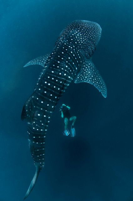 Whale shark and me | Jérôme C Flickr