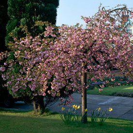 Prunus Serrulata Kiku Shidare Zakura Tree Garden Design Flowering Cherry Tree Ornamental Cherry