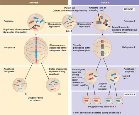 Differentiate Between Mitosis And Meiosis Website School And Life