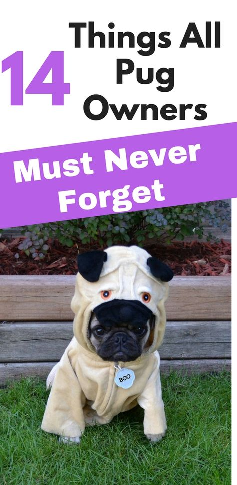 14 Important Facts About Pugs Every New Mom Should To Know Funny