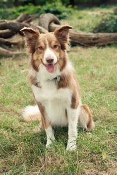 Welsh Sheepdog เวลส ช พด อก Wales Welsh Sheepdog Dogs Sheepdog