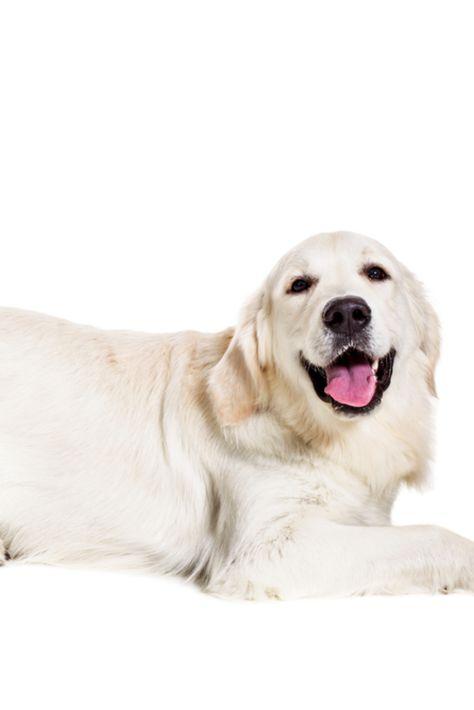 Labrador Retriever On A White Background Labradorretriever