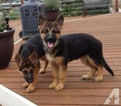German Shepherd For Sale Waz Zap What Sapp 60172415563 For Sale