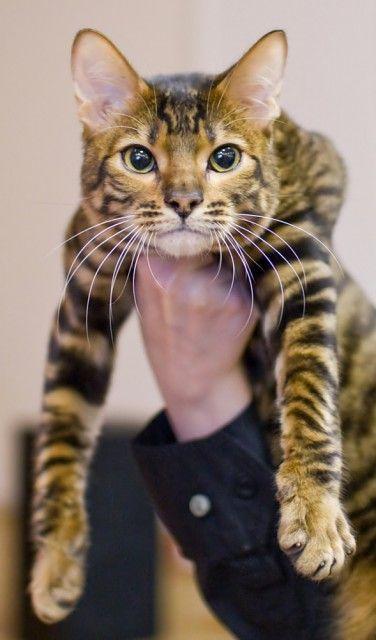 Toyger Cat Breed Profile Metaphorical Platypus Toyger Cat Cat