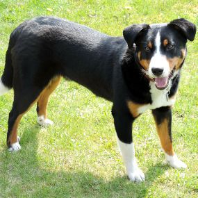 Appenzeller Sennenhund Dogs Animals