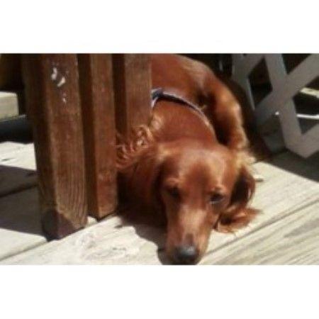 Wiggly Doxie Tails Dachshund Breeders Dog Breeder Dachshund