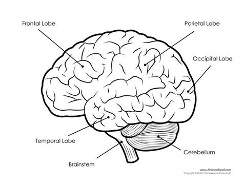 Human Brain Diagram Labeled Unlabled And Blank