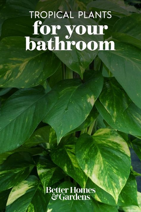 There's a trick to keeping houseplants thriving in drier climates: It's the bathroom. The typical high humidity and warmth of your bathroom are exactly what most tropical plants are missing in their lives. So if your houseplants are struggling, gather them up and display them near your tub or sink. #tropicalplants #plantsforyourbathroom #houseplants #bhg