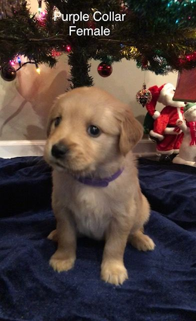 Litter Of 8 Golden Retriever Puppies For Sale In Paragould Ar