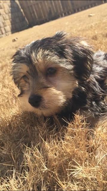 Morkie Puppy For Sale In Acworth Ga Adn 66842 On Puppyfinder Com Gender Male Age 11 Weeks Old Morkie Puppies Morkie Puppies For Sale Morkie