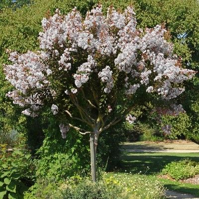 Black Diamond 1pc Crape Myrtle Pure White National Plant Network Crape Myrtle Plants Front Yard Landscaping