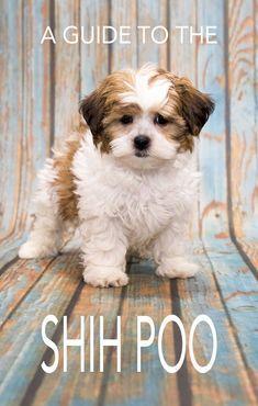 The Shih Poo A Guide To The Poodle Shih Tzu Mix Shih Tzu