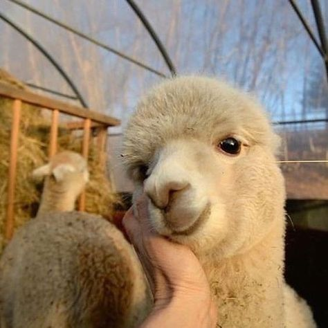 Here Are Some Alpacas With a Smile - World's largest collection of cat memes and other animals Alpaca Funny, Cute Alpaca, Baby Alpaca, Cute Animal Photos, Animal Pictures, Farm Animals, Animals And Pets, Llama Pictures, Cute Little Animals
