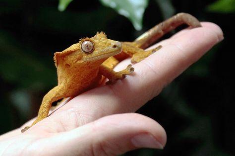 El refugio The Tropical Farm muestra a un #gecko con cresta (ciliatus Rhacodactylus), especie que se consideraba extinta hasta su redescubrimiento en 1992 en Nueva Caledonia. Foto: AFP