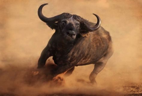 Africa |  Buffalo charging.  Photographed in the Kalahari, Northern Cape province, South Africa | © Paul Brehem