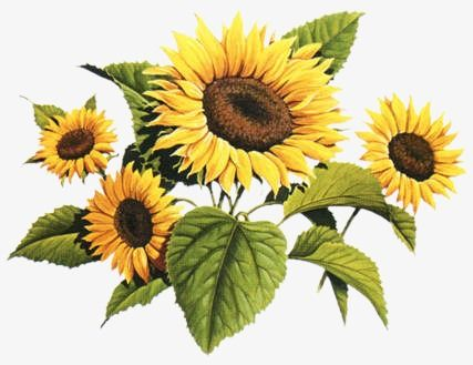 Sunflower Sunflower Clipart Flowers Flower Png Transparent