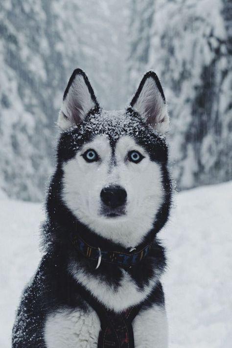 What a beautiful Siberian Husky! Look at those eyes! bullymake.com/ #siberianhusky