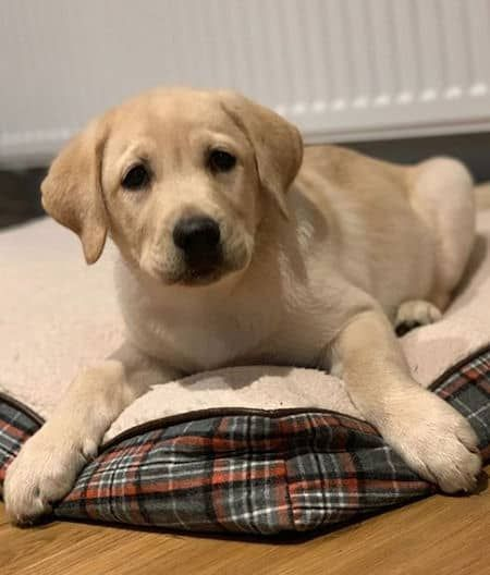 Yellow Lab Puppy Laying On A Dog Bed Labradorretriever Doglovers Cute Puppies Labs Barkinglaughs Labrador Retriever Lab Puppies Yellow Lab Puppy