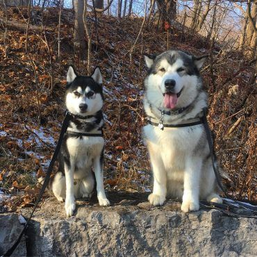 Difference Between Husky And Malamute Bing Images Alaskan