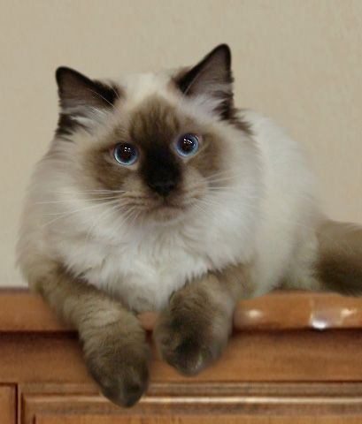 25 Viral Ragdoll Cat Photos That You Will Love Ragdoll Kittens For Sale Ragdoll Cat Cat Breeds