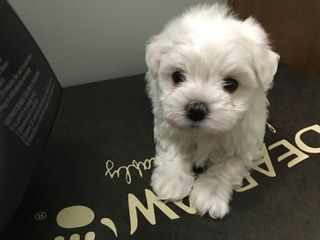 Litter Of 3 Maltese Puppies For Sale In Muscatine Ia Adn 23482